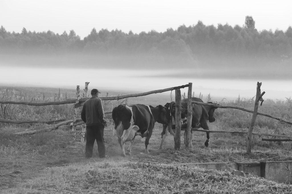 Туманним ранком на випас