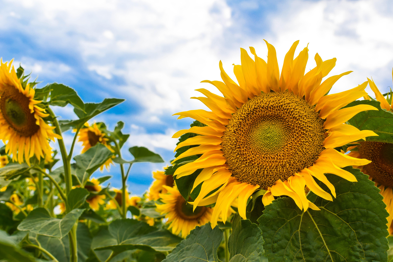 Український соняшник