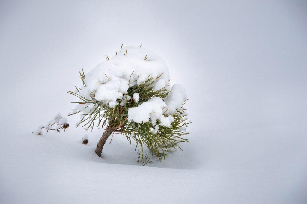 Снігове дерево