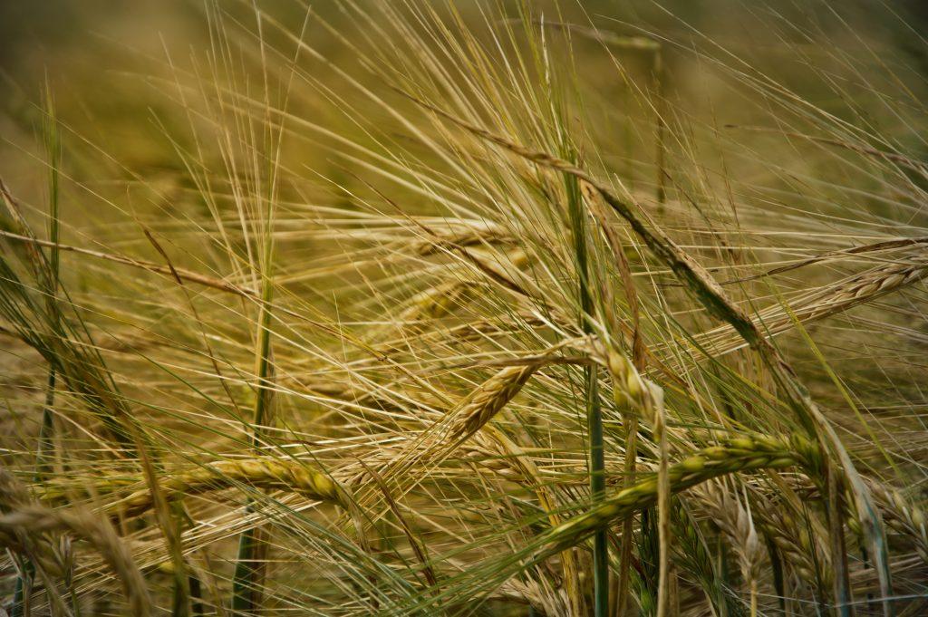 Пшениця у полі