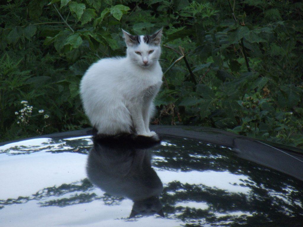 Спостережлива кішка